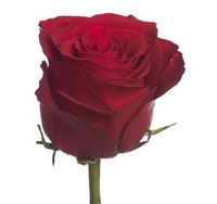 Роза Родос (Rhodus) 70см
