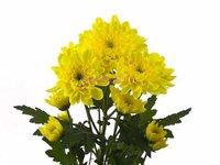 Хризантема кустовая Зембла жёлтая