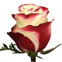 Роза Свитнес (Sweetness) 90см,