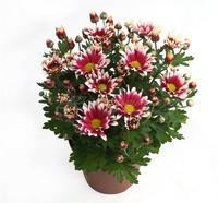 Хризантема в вазоні