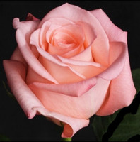 Роза Эквадор Ангажемент (Engagement) 90 см.