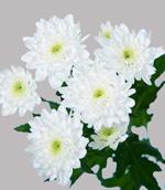 Хризантема кустовая Зембла белая