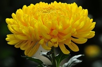 Хризантема одноголова жовта