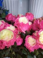 Роза Красно-белая