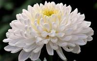 Хризантема одноголова біла