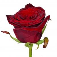 Роза Украина Гран При 80 см.
