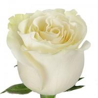 Троянда Мондіаль (Mondial) 60 см
