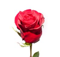 Троянда (Freedom) Фрідом, Еквадор 90 см