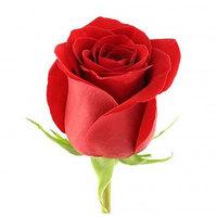 Троянда (Freedom) Фрідом, Еквадор 100 см